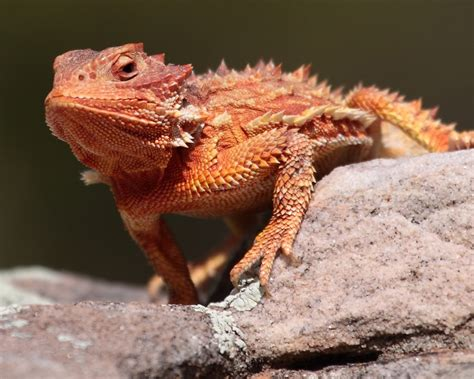lizard out of featured creature thorny nature pbs