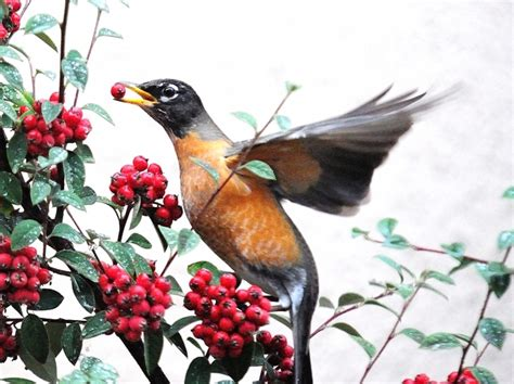 what can you feed a hungry robin in the wintertime