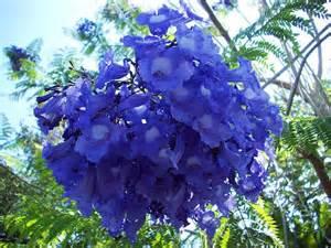 flowering tropical shrubs tropical flowering tree beautiful blue