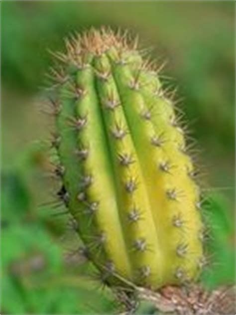 bug resistant cactus plants cactus juice som en bug repellent digidexo