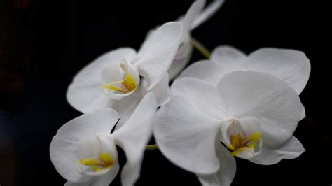 black and white orchid wallpaper white orchid flower on a black background wallpapers13 com