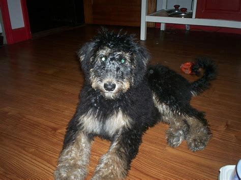 airedoodle puppies airedoodle airedale x terrier poodle mix info temperament puppies pictures