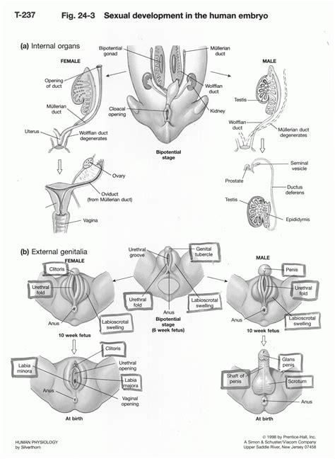 reproductive anatomy diagram diagram of the reproductive system of avian fetal
