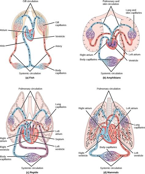 overview   circulatory system boundless biology