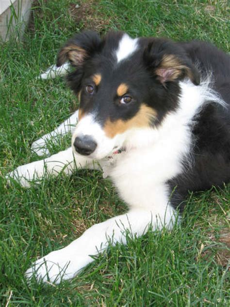 collie mix puppies meet buddy the border collie mix picture gallery