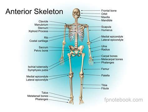 skeleton anatomy human anatomy bone anatomy of the human see printing and image