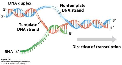 what is the template for transcription 15 transcription of rna biology 312 with mack at