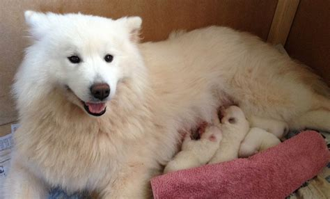 samoyed puppies colorado beautiful samoyed puppies paignton pets4homes