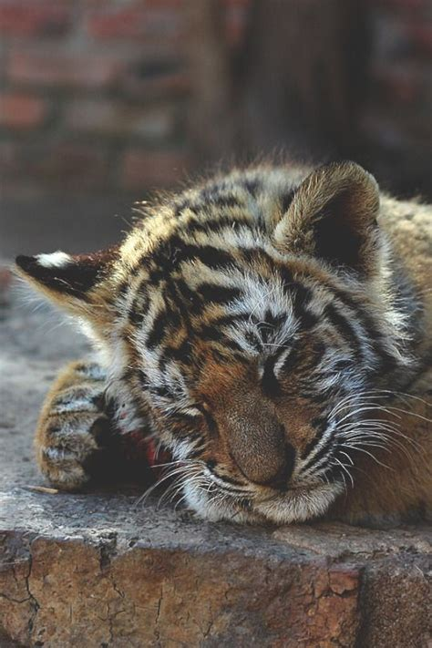 baby tiger with big tiger with images 800 best big cats and cubs images on