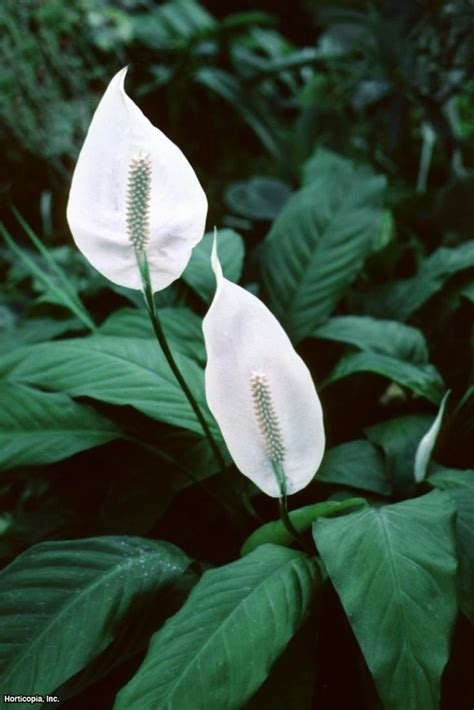 ideas  peace lily  pinterest  indoor