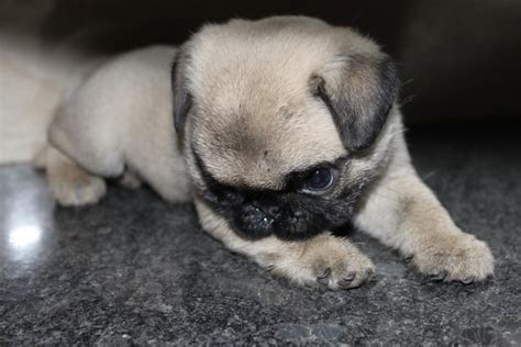 pug puppies price in bangalore pug puppies for sale kiran 1 8156 dogs for sale price of puppies dogspot in
