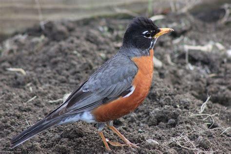 what do american robin bird eat american robin 15 talainsphotographyblog
