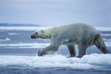 polar bear populations  decrease   cent
