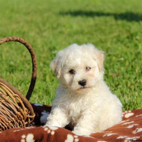 bichon puppies for sale bichon frise puppies for sale greenfield puppies