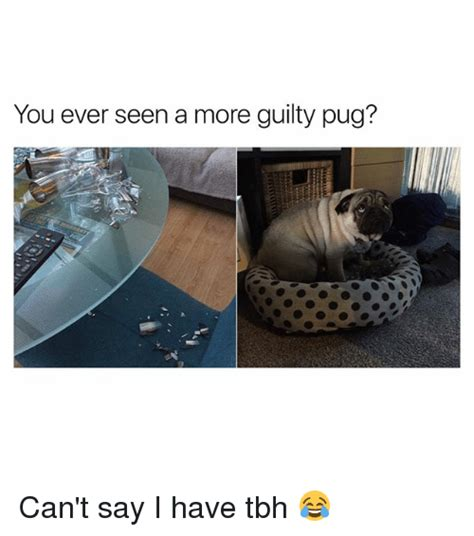 pug say i you you seen a more guilty pug can t say i tbh meme on sizzle
