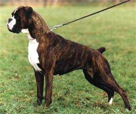 boxer puppies atlanta atlanta vom german