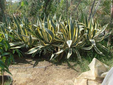 agave in vaso agave in vaso balestrate palermo
