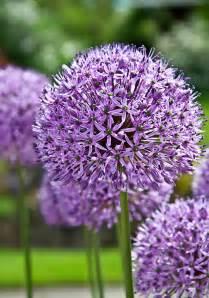plant with purple flowers purple allium flowering plant photograph by valerie garner