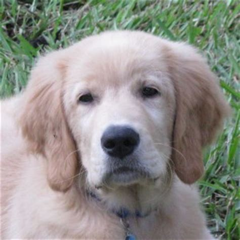 adoptable golden retrievers near me adopt a golden retriever puppy near me dogs our friends photo