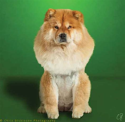 dogs that act like cats the mysterious chow chow compares to the cat