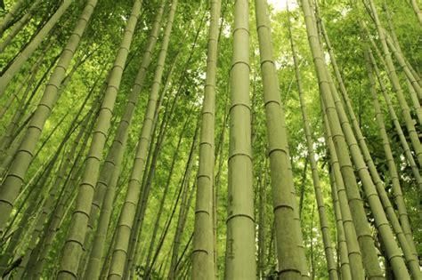 bambus winter bambus tipps f 252 r den winterschutz garten news garten