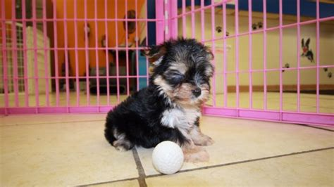 morkie puppies for sale in ga unique teacup morkie puppies for sale in ga at puppies for sale local breeders