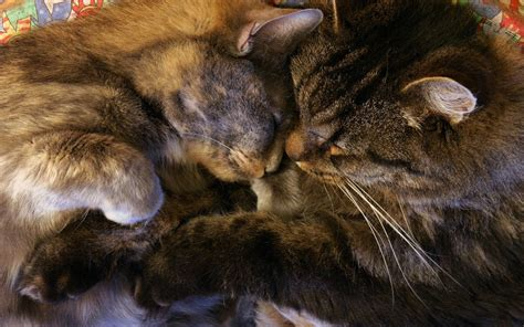 Imagenes Animales Abrazados | gatitos abrazados hd 1920x1200 imagenes wallpapers