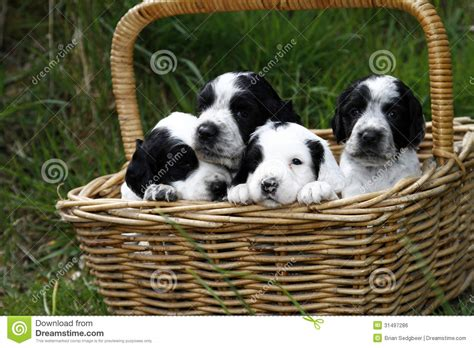puppies galore and more puppies galore royalty free stock image image 31497286