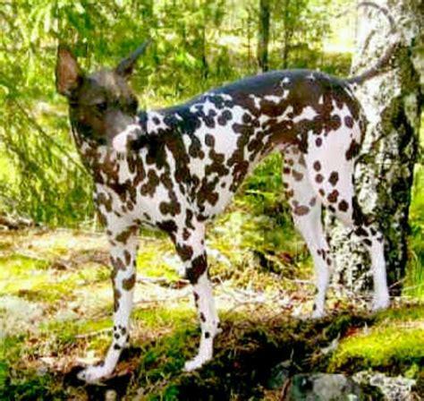 peruvian inca orchid dog breeds pinterest