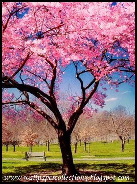 cherry bloosom tree wallpapercollectionx cherry blossom tree