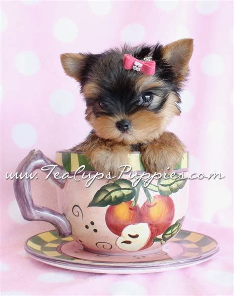 teacup puppies and boutique 1000 images about puppies by teacups puppies and boutique on puppys
