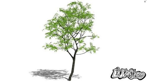 sketchup components 3d warehouse 3d tree aceraceae