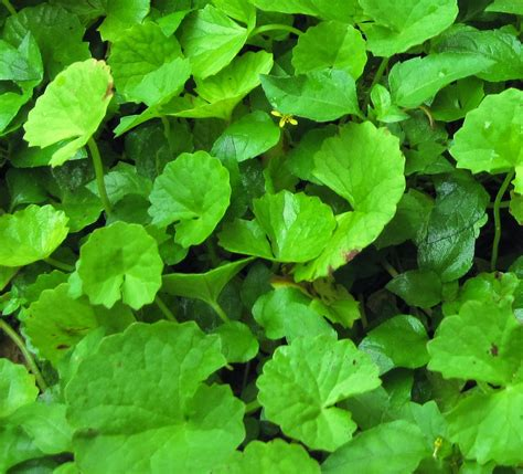 Dan Khasiat Sho Kuda manfaat dan khasiat tanaman pegagan centella asiatica l