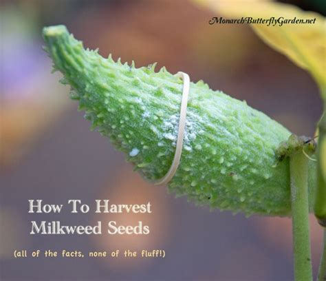 harvest milkweed seeds    facts  fluff