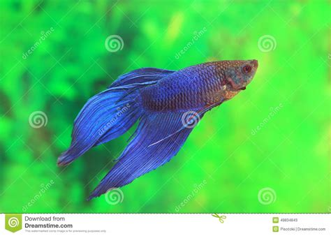 Mini Fish Blue of betta splendens of blue color stock image image 49834843