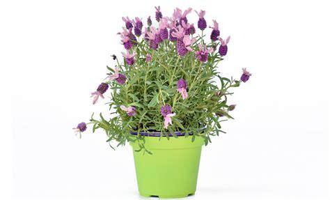 pianta lavanda in vaso pianta di lavanda stoechas in vaso 14 savini vivai di