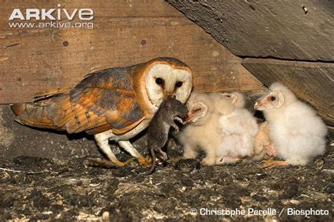 barn owl photo tyto alba a21838 arkive