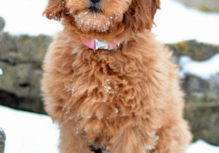 goldendoodle puppy vs an cube izze the goldendoodle hi i m from st louis my favorite
