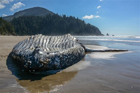 dead whale returns to an oregon beach this time in oswald