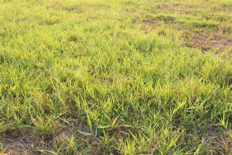 Grass L by Getting Rid Of Bermuda Grass Thriftyfun