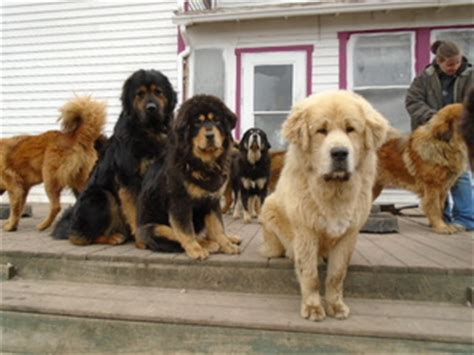 mastiff puppies for sale in iowa tibetan mastiff puppies and dogs for sale