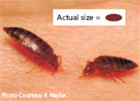 bed bug pictures actual size identify bed bugs pictures and descriptions