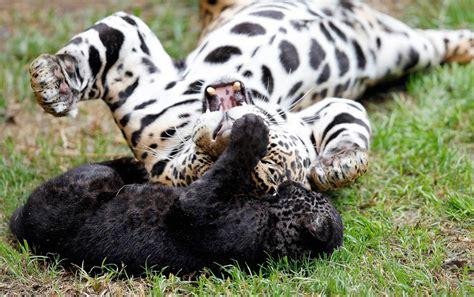 el jaguar panthera onca mascotas taringa beb 233 s otorongos mel 225 nicos beb 233 s jaguar mascotas taringa
