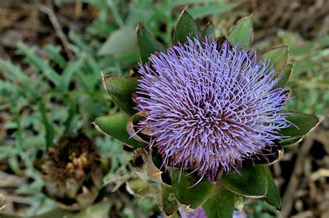 carciofo fiore il fiore carciofo mangiosano org
