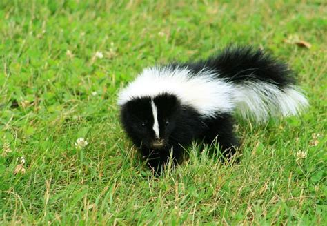 how to get rid of skunk smell bob vila