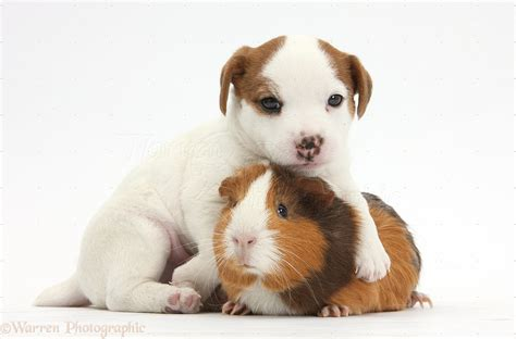 how to a pig pup pets terrier puppy and guinea pig photo wp33913