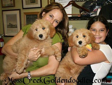 grown teddy teddy goldendoodle grown images