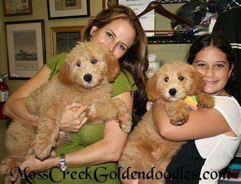 smeraglia puppy mill 1000 ideas about goldendoodle on golden doodle golden