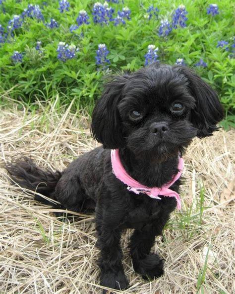 shapoo puppies wiki file shih poo rubyblue2 jpg wikimedia commons