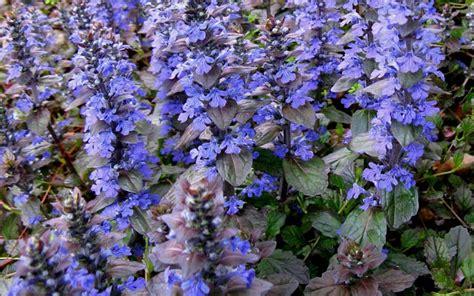 buy ajuga quot bronze beauty quot lamiaceae ajuga reptans bronze beauty 18 count flat of 4 quot pots